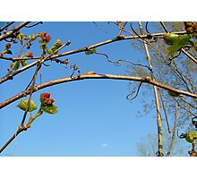 Wild grape buds Photographic Print
