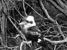 Kookaburra by John Douglas