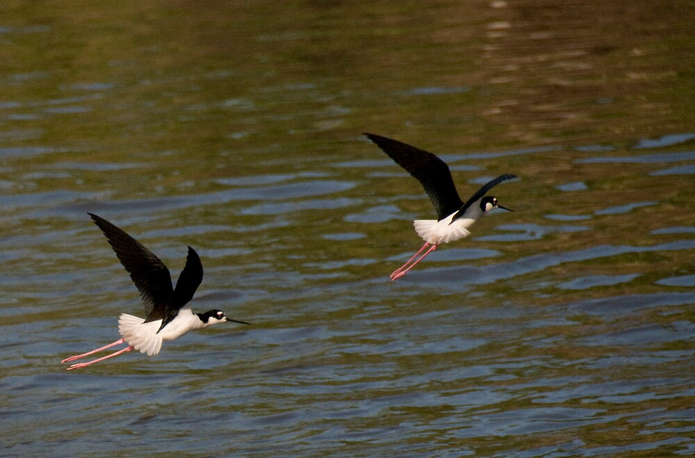 Black neck Stilts by Bill Perry