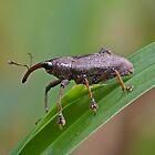 Mondo Weevil by Jim Johnson