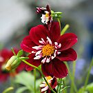 Red Dahlia by Jack Miller