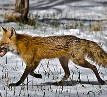 Meet the Daddy Fox... by Kasey Cline
