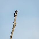 Belted Kingfisher by Thomas Young