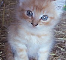 Barn Kitten by bcollie