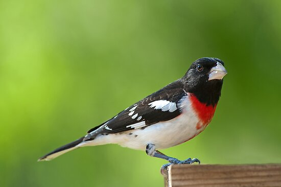 Mild mannered Mr. Grosbeak by Bonnie T.  Barry