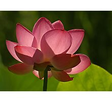 Backlit Lotus Photographic Print