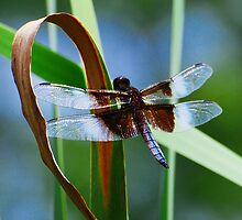 Widow Skimmer at Rest by Nancy Barrett