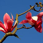 Blooming Magnolia Tree by Jo Nijenhuis