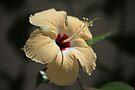 Hibiscus in cream by John Dalkin