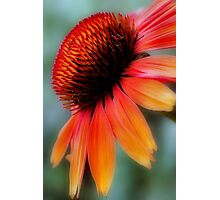 Fiery Echinacea Photographic Print