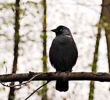 Jackdaw on the branch by renifer