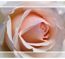 Softly Framed Rose by Joy Watson