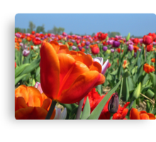 Rainbow Tulip Field Canvas Print