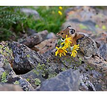 Pika Carrying Wildflowers Photographic Print