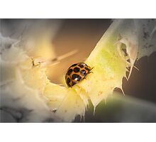 Lady Beetle  Photographic Print