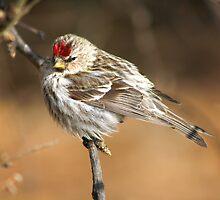 Common Redpoll by whisperjo