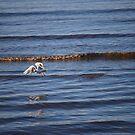 Seagull in Flight by John Marshall-Redding