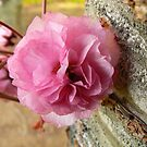 Pink Bloom by Finbarr Reilly