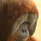 Male Orangutan by Steve Bullock