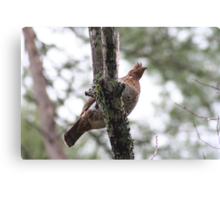 A Partridge in a ? tree Canvas Print