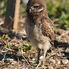 Burrowing Owl Baby #1 by Virginia N. Fred