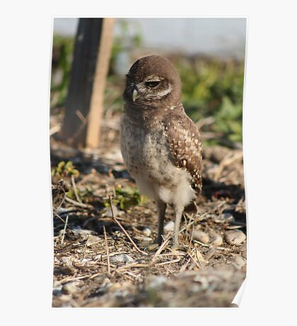 Burrowing Owl Baby #1 Poster