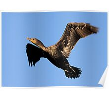 042309 Double Crested Cormorant Poster