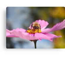Bee on a Pink Cosmo Canvas Print