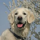Golden Retriever Ditte by Trine