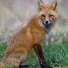 Red Fox by Gary Lengyel