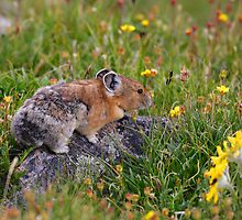 Pika & Wildflowers by William C. Gladish