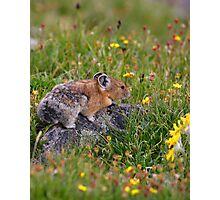 Pika & Wildflowers Photographic Print