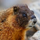Marmot Portrait by WorldDesign