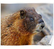 Marmot Portrait Poster