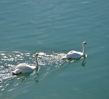 Swans In The Sunlight by Malcolm Snook
