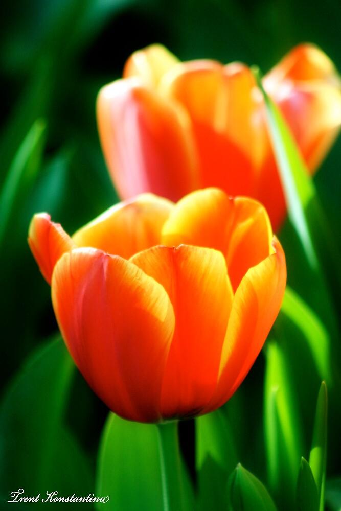Tulips by kostasimage