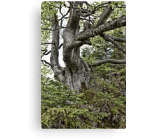 Old twisted tree Canvas Print
