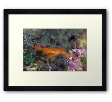 Hairy Ghost Pipefish Framed Print