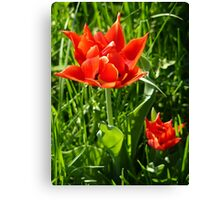 Tulips... Canvas Print