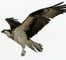 Osprey in flight by Larry  Grayam