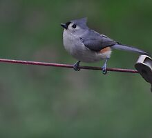 Titmouse on tightrope by mltrue