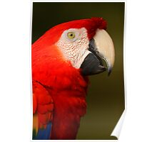 Scarlet Macaw Portrait Poster