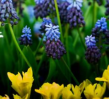 Tulips and Muscari by Alison Cornford-Matheson