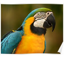Blue & Yellow Macaw Portrait Poster