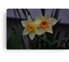 Pale yellow beauties Canvas Print