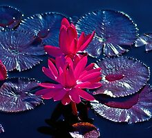 Pink Water Lillies by Brian Kerls  photography