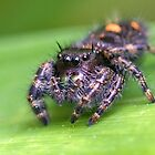 Jumping Spider by Otto Danby II