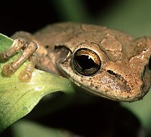 Tree Frog Portrait by William C. Gladish