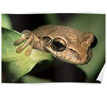 Tree Frog Portrait Poster