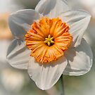Narcissus by M.S. Photography/Art